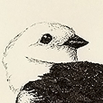 Schneeammer, Plectrophenax nivalis, Snow Bunting, Plectrophane des neiges
